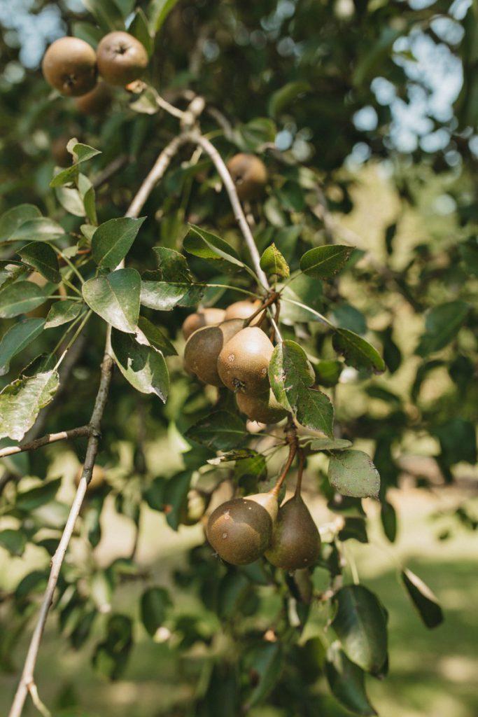 Repro Eko pear tree